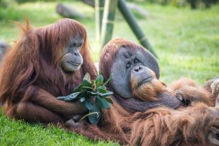 Orangutans at a zoo.