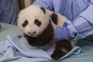 San Diego Zoo panda cub
