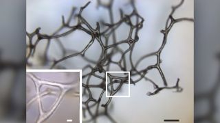 A three-dimensional fragment of a spongin skeleton from a modern keratosan sponge, illustrating its branching and network of fibers.