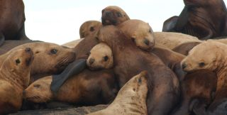 Eastern Steller sea lions.