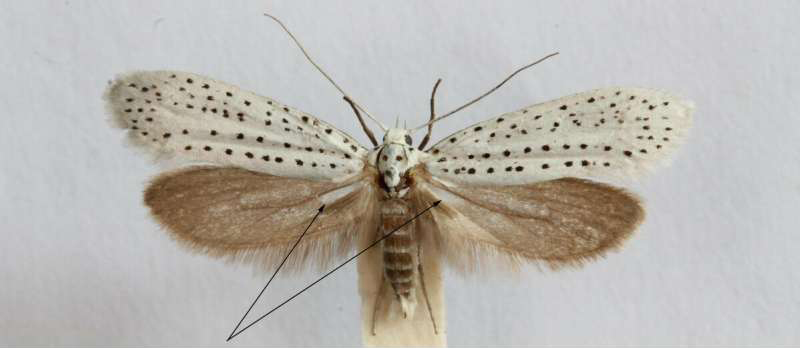 Here's Why These Creepy Little Moths Have Noisy, Clicking