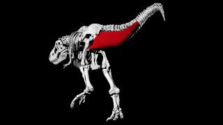 Tail muscle reconstruction in a T. rex.