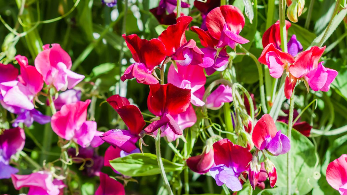 Monty Don reveals why now is the best time to sow sweet peas – and how to protect them from frost