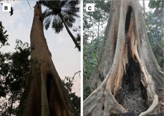 A hollow tree that may have housed bats with ebola