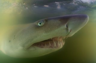 A juvenile sand tiger shark in Great South Bay, New York.
