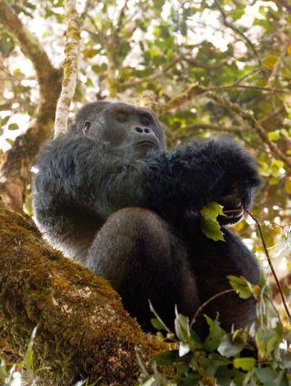 Silverback Grauer's gorilla