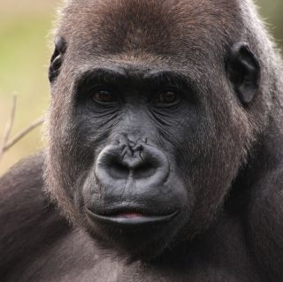A close-up of a western lowland gorilla face.