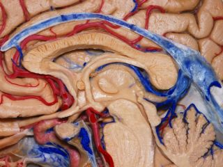 anatomy of the human brain, images of the human brain