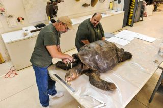 museum staff take measurements of dead galapagos tortoise named lonesome george.