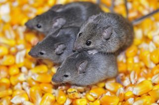 mice, corn, fda, food defect