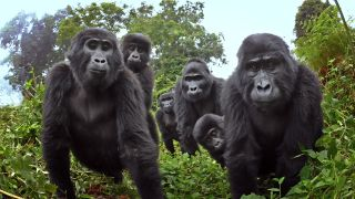 "A mountain gorilla family in Uganda peers into the ""spy"" camera."