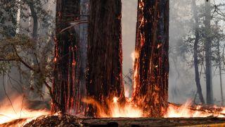 Some redwood trees burn near highway 236 in Boulder Creek, California, on Thursday, Aug. 20, 2020.