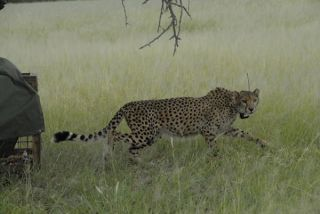 cheetah-saved-110427-02