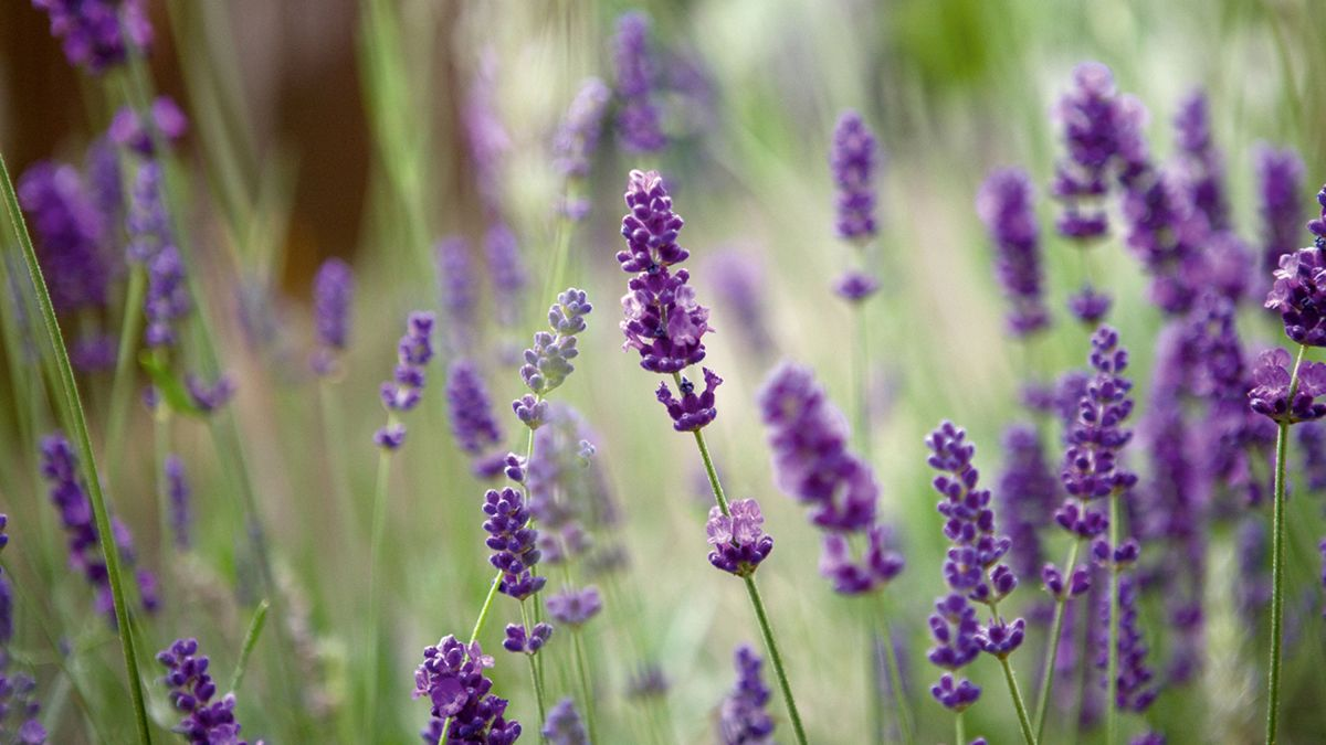 How to take lavender cuttings: multiply your plants for free