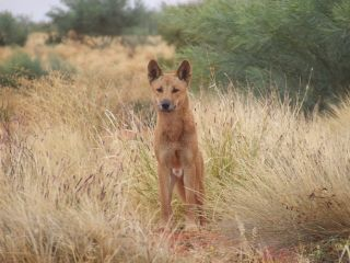 dingoes, invasive species, species controls