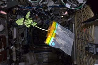 Zucchini Plant Floats Aboard the ISS