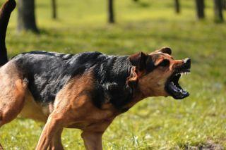 An angry dog snarls and barks.