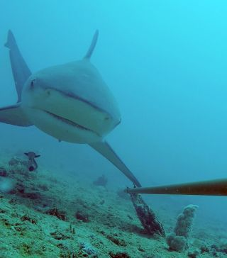 global-finprint-bull-shark-great-barrier-reef