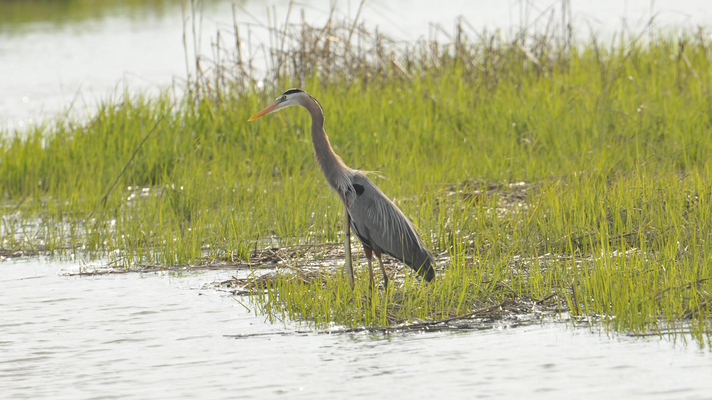 The snake eels limply dangles from the heron.