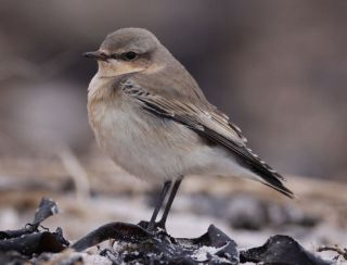The northern wheatear (Oenanthe oenanthe) weighs no more than 2 tablespoons of salt.