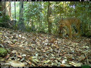 Sumatran tiger camera trap photo
