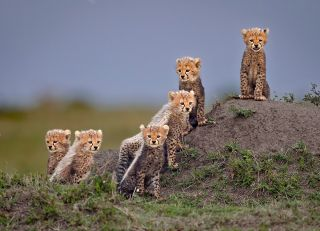Wildlife photography competition showcases incredible cheetah pictures