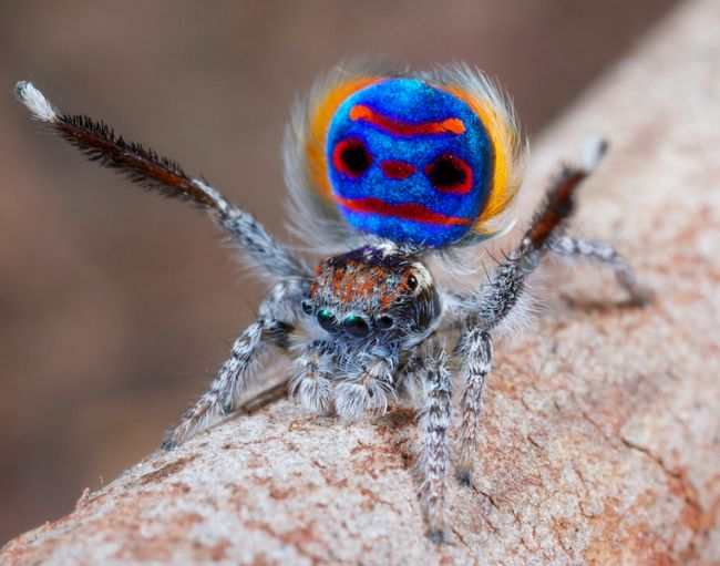 This is the peacock spider Maratus speciosus.