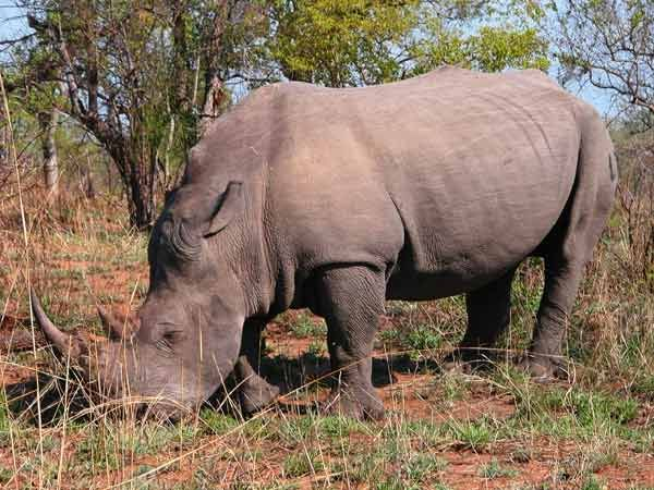 Species Success Rhinos Recover Live Science