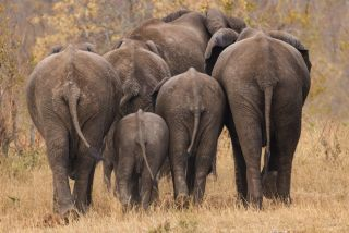a herd of elephants from behind