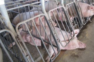 Confined pigs, animal cruelty