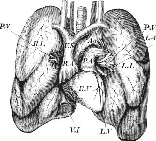 A vintage engraving of a human heart and lungs.