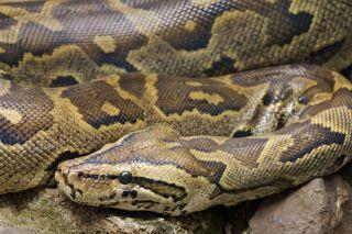 python-deaths