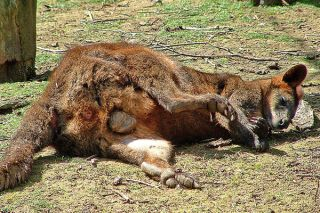 animals on drugs, wallaby