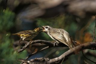 cuckoo birds, caring for young