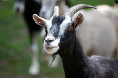Facts About Goats Live Science