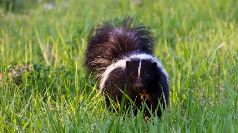 how to get rid of skunks on lawn