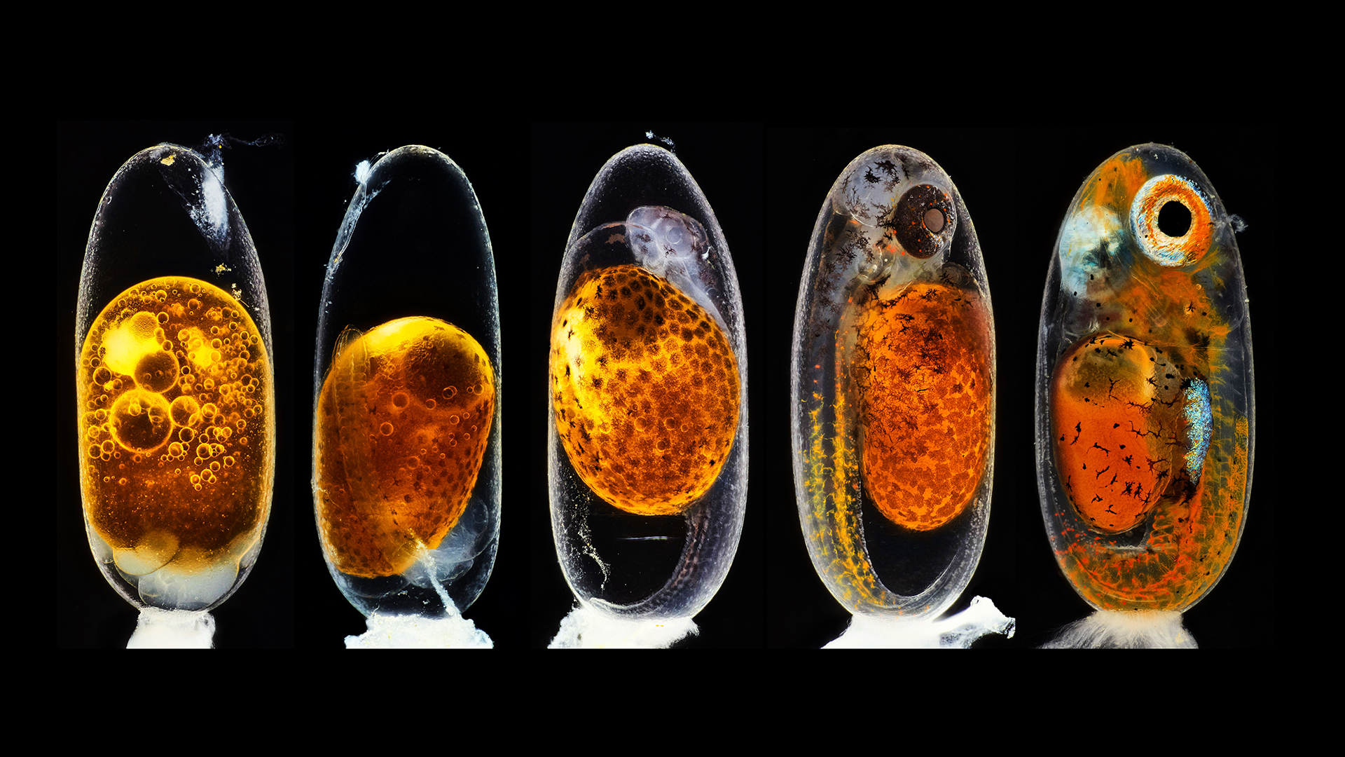 Second prize was awarded to the photographer who captured this image revealing the embryonic development of a clownfish (Amphiprion percula) on days one, three (morning and evening), five, and nine.