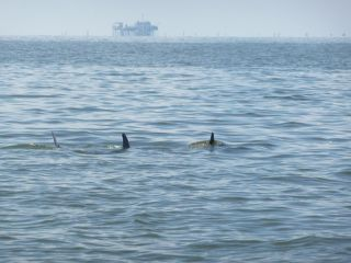 Dolphins in oil slick off the coast of Louisiana