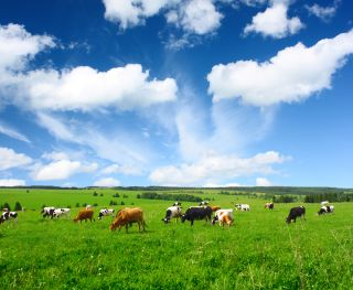 Cows graze in an open field.