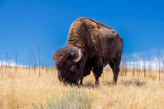 Male bison can weigh up to about 2,000 pounds (900 kilograms).