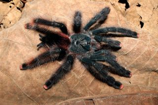 The birdeater spider <em>Avicularia avicularia</em>: This genus of tarantulas has been reorganized.