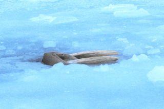 Walrus tusks