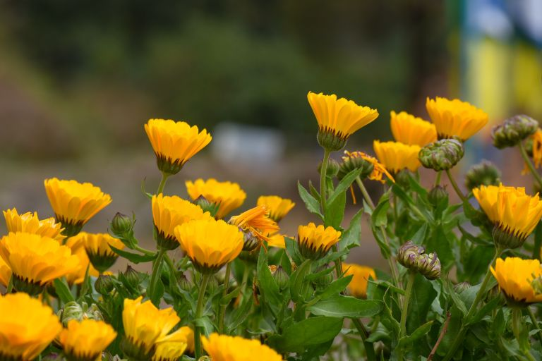 How to plant marigolds Alan Titchmarsh