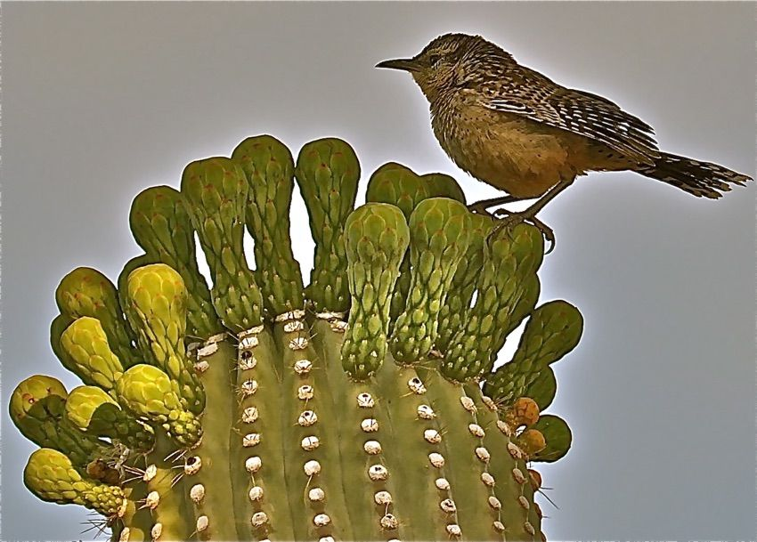 Behold the Cactus Wren! Amazing Photos of the Desert