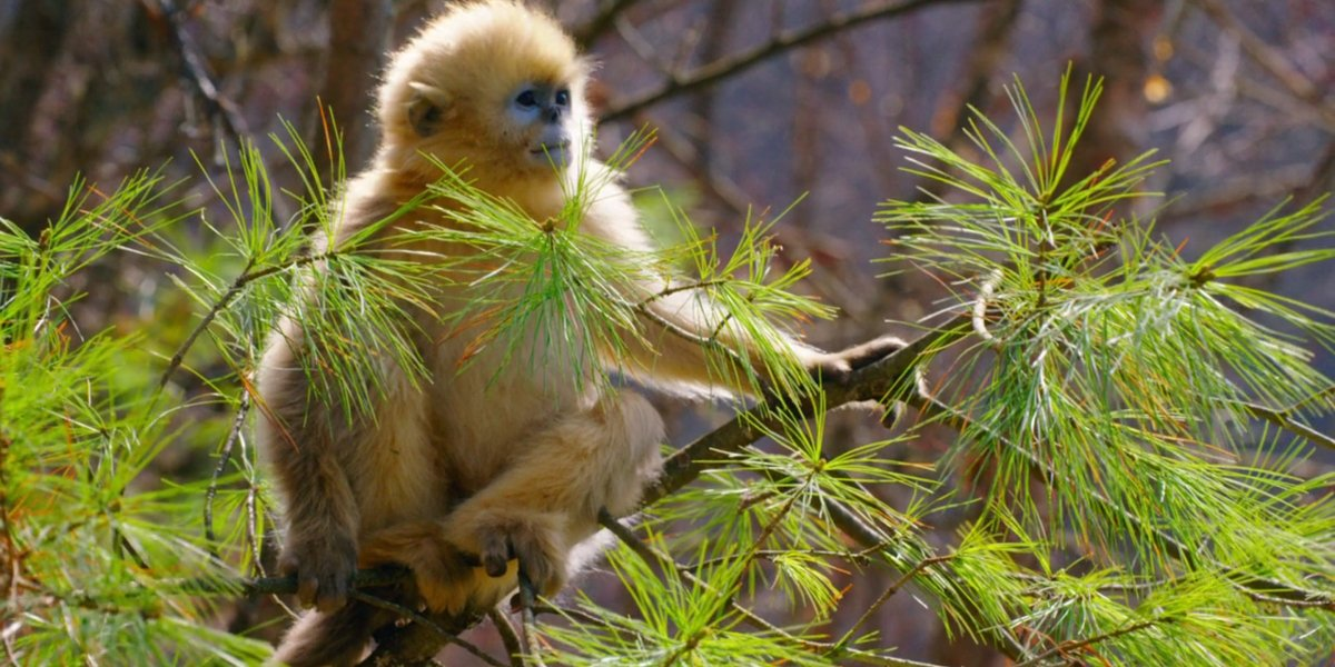 A golden snub-nose monkey in Born In China