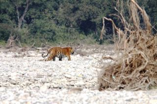 Male bengal tiger in India