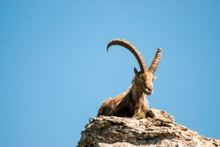 Facts About Ibex | Live Science