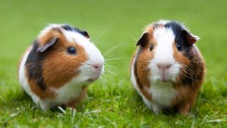 So do guinea pigs sleep? In order to properly care for your new guinea pig, it's important to have an understanding of their medical needs and behaviors