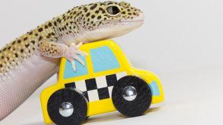 Lizard with toy car