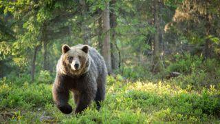 a bear sneaking through the wilderness